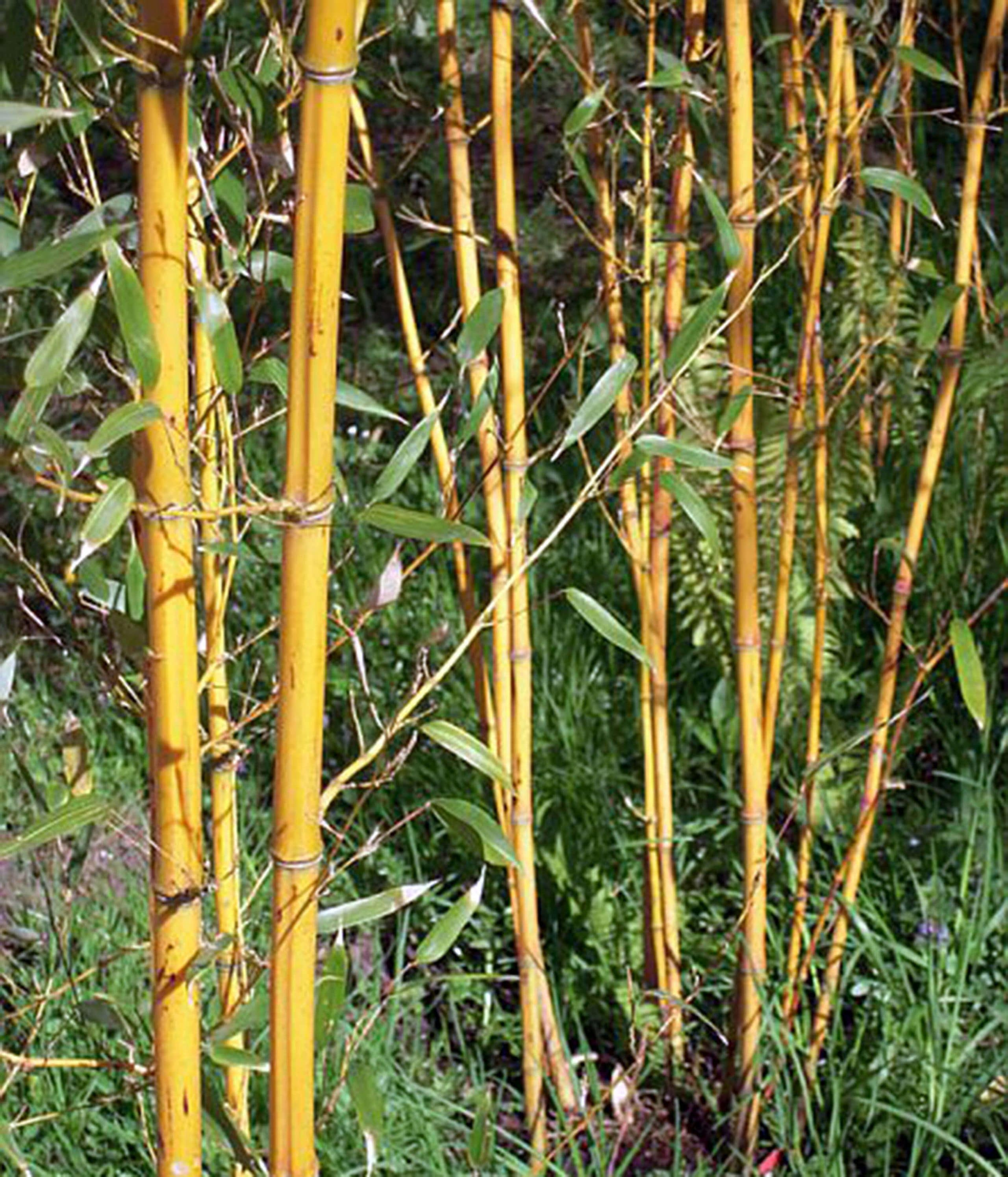 Asiatischer Bambus